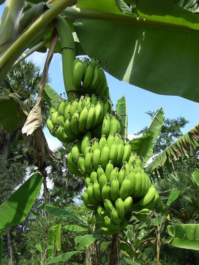 Banana071112